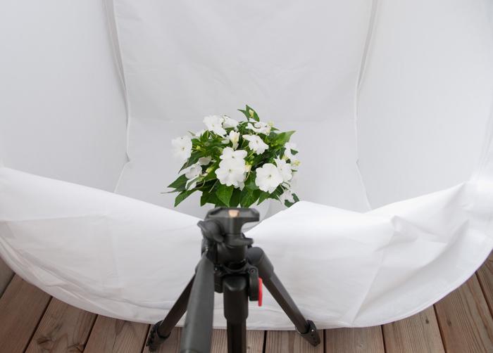 Ljustält med blomma
